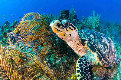 sea turtle on coral reef