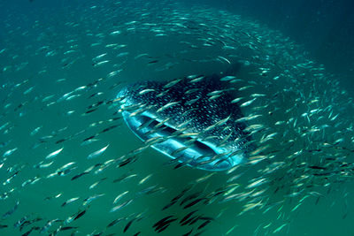 whale shark feeding in Tanzania