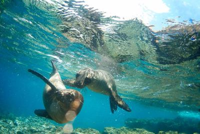 galapagos seals swimming