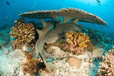 reef sharks Grenada