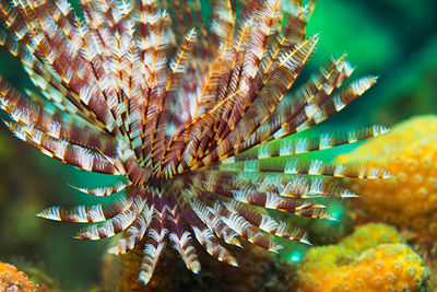 tube worm, Dominica
