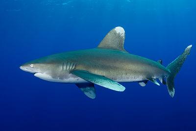 Oceanic White Tip Shark in the Red Sea, Egypt