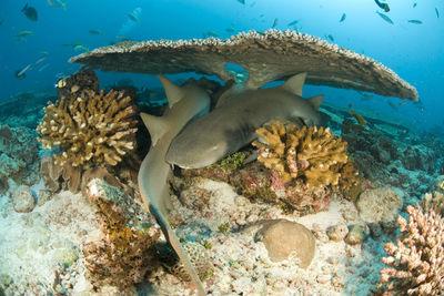 grenada nurse shark