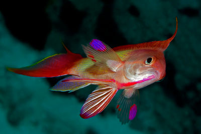 male scalefin nthias