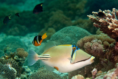 triggerfish diving oman