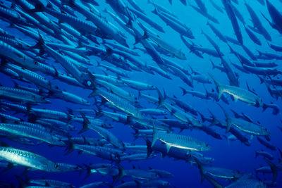 Barracudas at Kimbe Bay