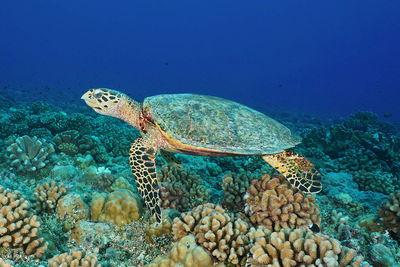 Hawksbill Turtle, French Polynesia