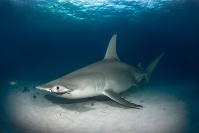 Hammerhead in the Bahamas