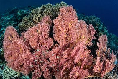 Rainbow coral, Fiji