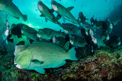 bumphead parrotfish spawning event, Palau