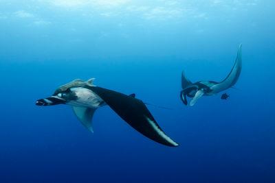Manta rays in Socorro