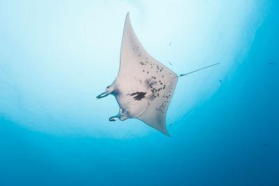 Manta in Palau