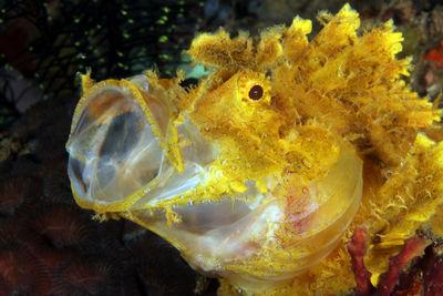 Weedy Scorpion Fish
