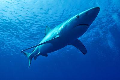 Blue Shark Azores