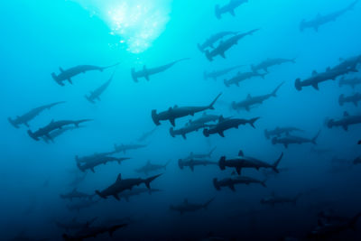 Hammerheads Cocos Island
