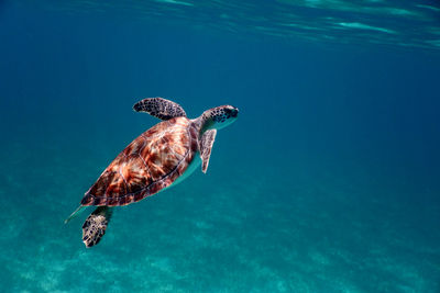 Turtle in Turks and Caicos
