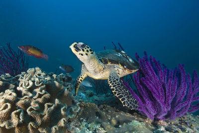 Turtle in Oman