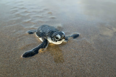 Turtle Hatchling in Tanzania
