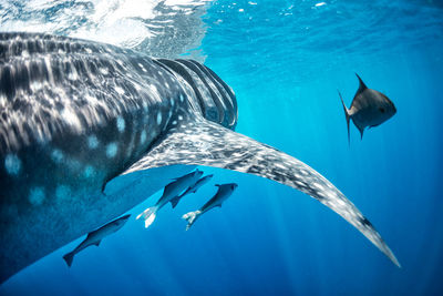 whale shark swimming, Maldives