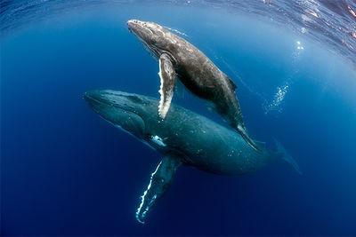 humpback whale and calf