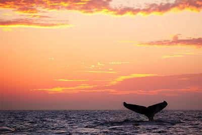 whale fluke Caribbean
