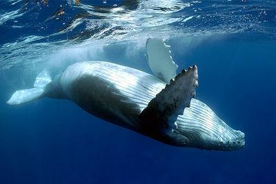 humpback whale ningaloo reef