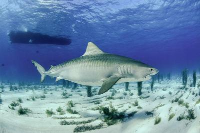 Bahamas shark