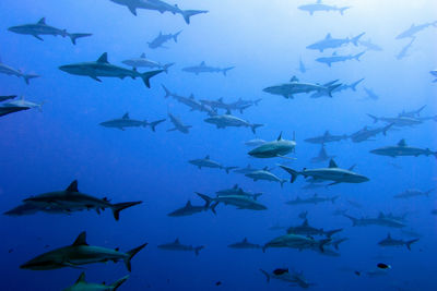 School of Sharks in Fakarava