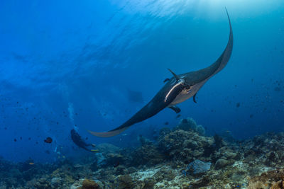 oceanic manta ray over reef