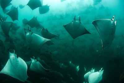 mobula ray migration, Baja California, Mexico by David Valencia