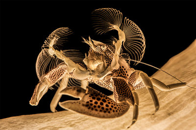 porcelin crab
