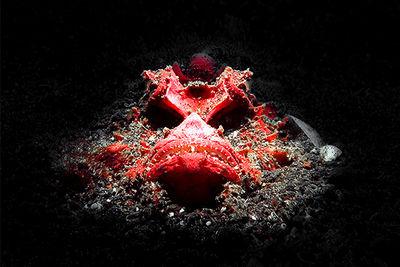 red devil scorpionfish