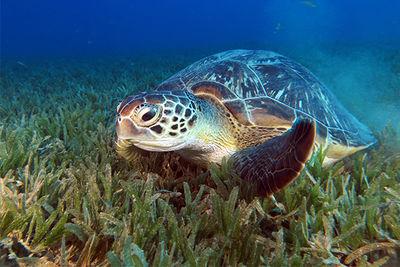 turtle feeding on seagrass