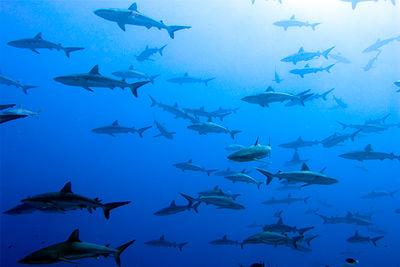 sharks tiputa pass