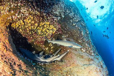 sharks socorro