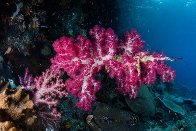 soft coral misool