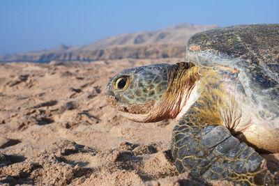 turtle oman