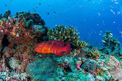 grouper Seychelles