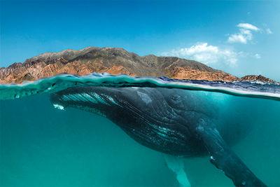 oman humpback whale