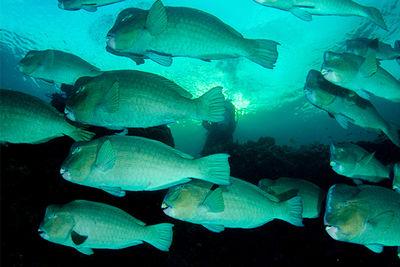 parrot fish spawning