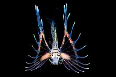 translucent lionfish
