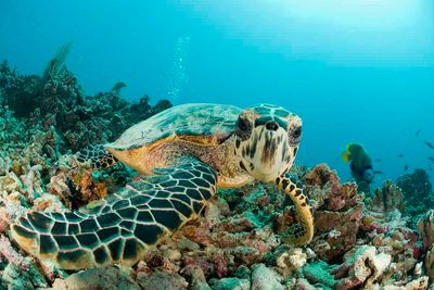 Belize Family Diving Turtle