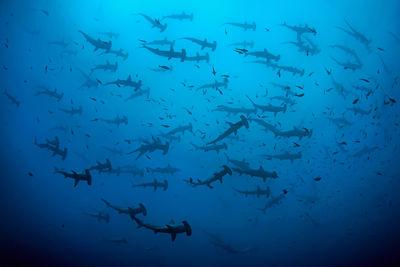 hammerhead sharks cocos island