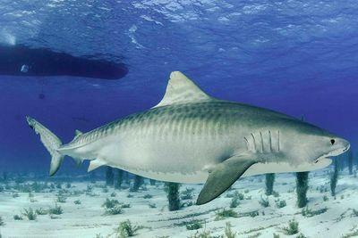 Bahamas tiger shark