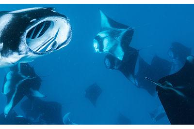 milaidhoo island manta rays