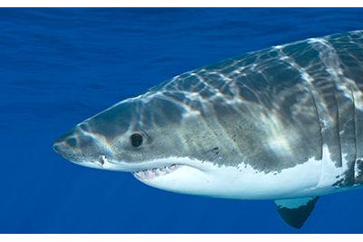 nautilus great white shark mexico