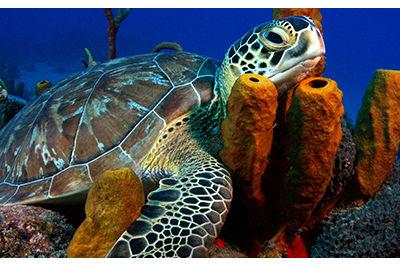 turtle dive grenada