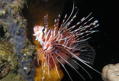 Juvenile Lionfish, Night Diving