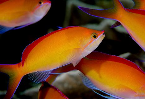 Redfin Anthias