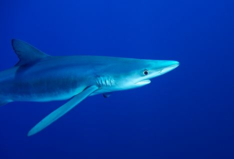 shark diving in the Azores